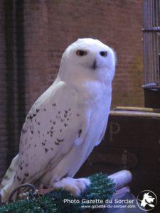 Hedwige, chouette blanche lors d'une soirée au Warner Bros Studio Tour London