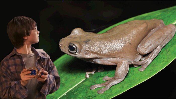Une authentique «Chocogrenouille» découverte en Nouvelle-Guinée